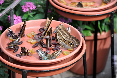 Various butterflies feasting on rotting fruit.