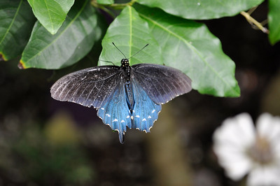 Pipevine Swallowtail.  Africa