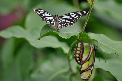 Blue Tiger (Asian) on top of leaf and Scarce Bambo Page bellow (Central and South America)..