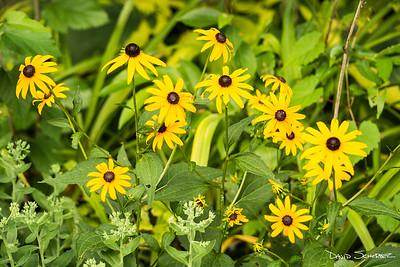 Bakyard garden blackeyd susans_sig_1680