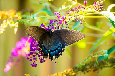 Swallowtails black morph_1712