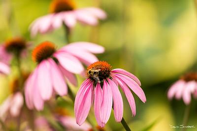 Bakyard garden bumble bee_sig_1644
