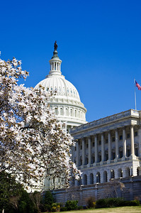U. S. Capitol and Cherry Blossoms