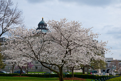 Cherry Blossoms near the Library of Congress