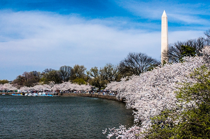 Washington Monument - Monument in the background with wide angle view of cherry trees.