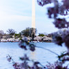 Washington Monument - Abstract of the Monument with cherry blossoms in foreground.