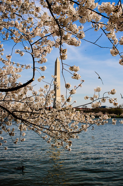 Washington Monument - Ducks and sea gulls on the Tidal Basin with the Washington Monument in the background, framed by cherry blossoms.