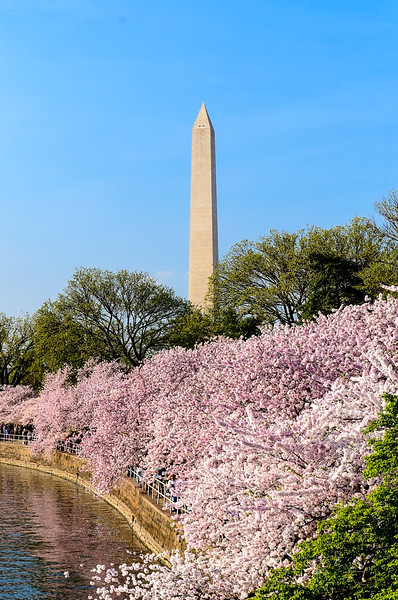 Washington Monument - Monument in the background masses of cherry trees in full bloom.