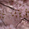 Cherry Blossoms in mid bloom.