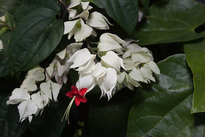 Bleeding Heart Vine, Clerodendrum thompsoniae                                                          Native to Tropical West Africa.  Taken at the United States Botanic Garden,  Washington, DC  http://www.usbg.gov/