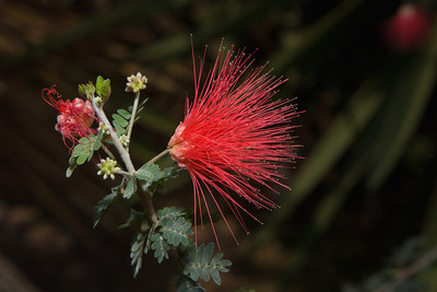 Baja Fairy Duster, Calliandra californica, United States Botanic Garden, Washington, DC.