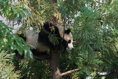 Panda Cub, 'Tai Shan'