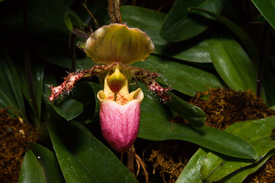 Pink and Yellow Paphiopedilum glaucophyllum Orchid, United States Botanic Garden, Washington, DC.