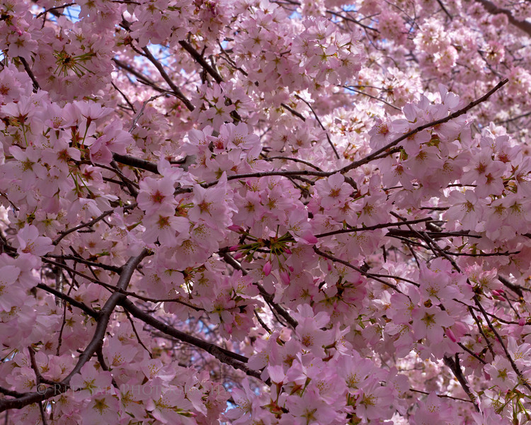 Cherry Blossoms in full bloom.