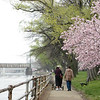 Strollers & Cherry Blossoms