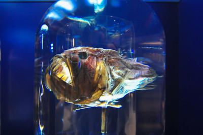 Big ugly monkfish