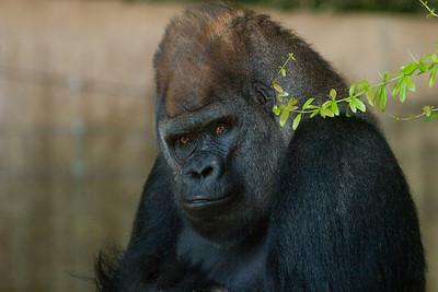 Upland Gorilla 'M'geni Mopaya'