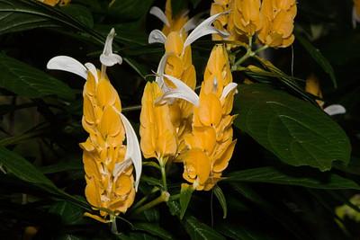 Araceae aglaonema, 'Patricia', United States Botanic Garden, Washington, DC.