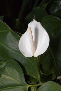 Anthurium 'White Frost', United States Botanic Garden, Washington, DC.