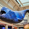 Atlantic Right Whale