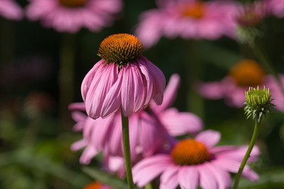 Purple Coneflower, Echinacea purpurea, Smithsonian National Zoological Park , Washington, DC.