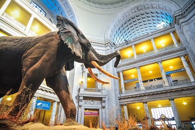 Interior view of rotunda of Natural History Museum in Washington, DC. EDITORIAL USE ONLY.