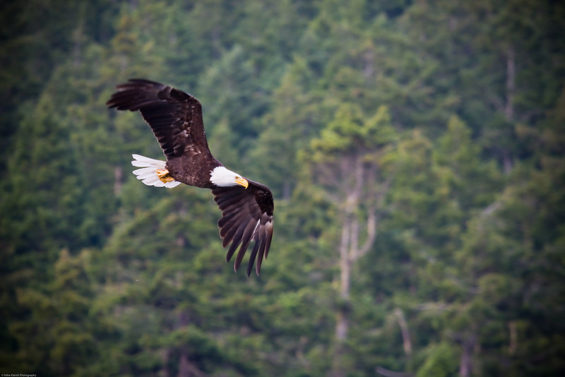 Deception Pass Eagle-0966