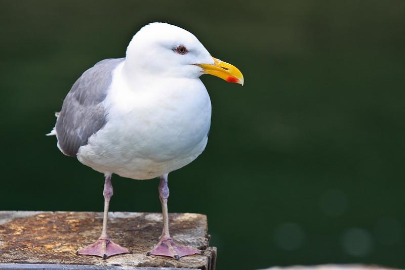 California Gull -9276
