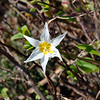 Mt. Baker Wilderness – Picture Lake - Glacier Lily