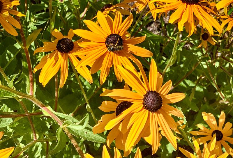 Bellingham bees pollinating flowers.