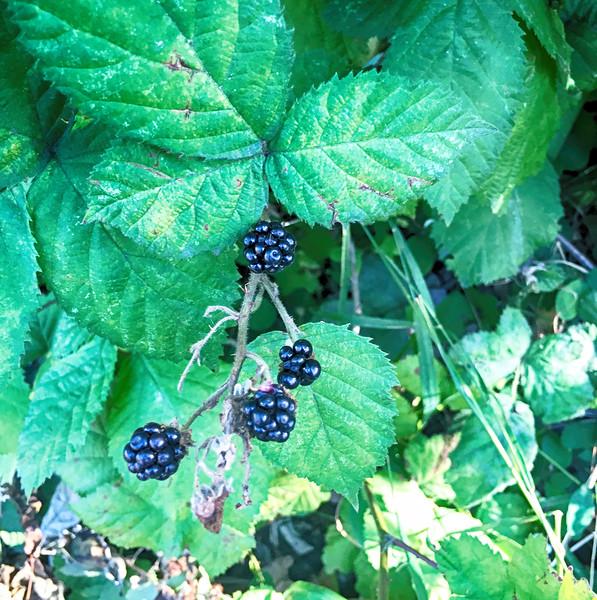 Blackberries in Washington: they're everywhere.