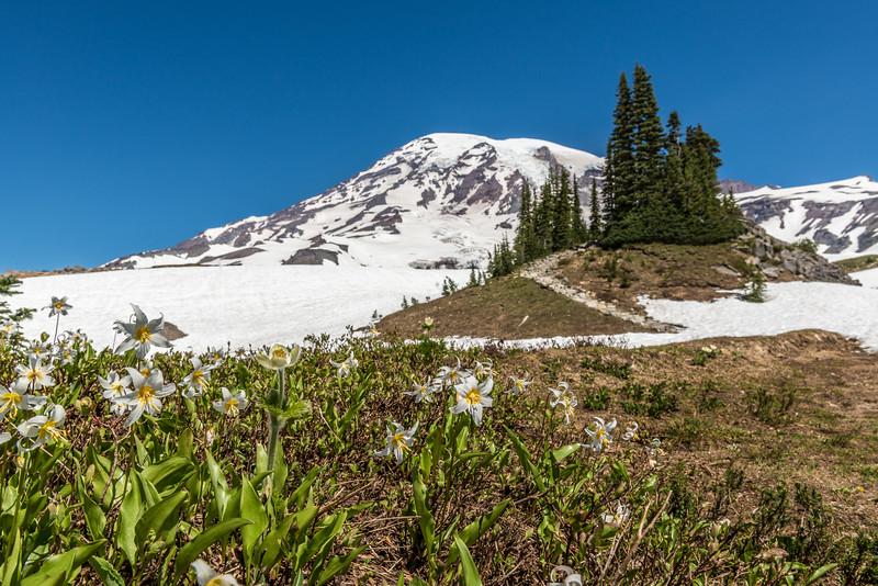 Avalanche Lily (Erythronium montanum) in front of Mount Rainier. Paradise, Mount Rainier National Park