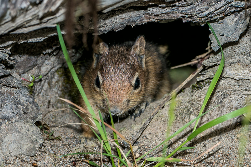 Cascade Golden-mantled Ground Squirrel (Spermophilus saturatus). Spirit Lake Highway, Mount St. Helens National Volcanic Monument