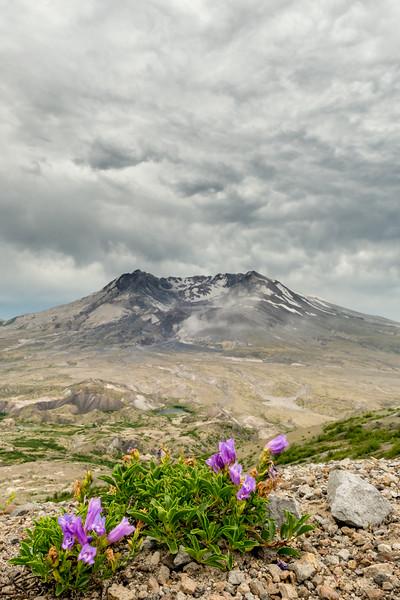Serrulate penstemon (Penstemon serrulatus) in front of Mount Saint Helens. Johnston Ridge