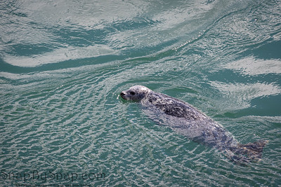 A Harbor Seal (phoca vituline) swimming in the blue ocean