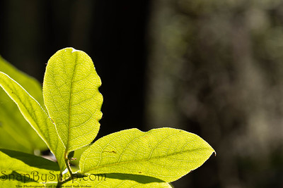 Macro image of green leaves backlit by the sun