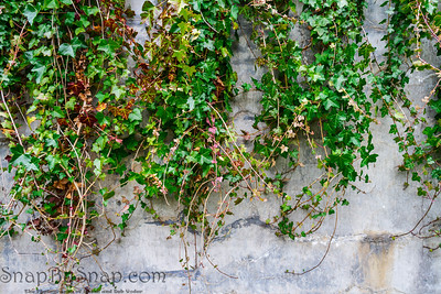 Green ivy overhanging a wall