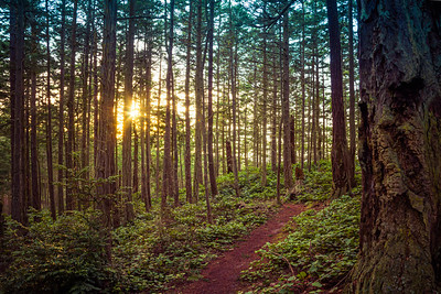 A trail in a lush green forest with tall pine trees