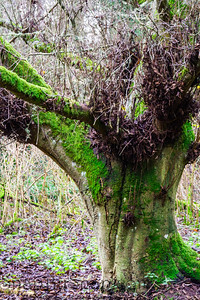 The trunk of a bare tree covered in thick green moss