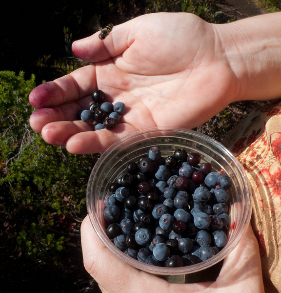 We picked about a pint of huckleberries and mountain blueberries.  They made some very nice pancakes.