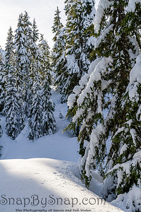 Pine trees covered in a heavy snow