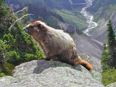 Marmot at Mt. Rainier National Park