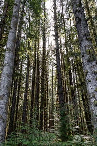 The sun shining through the temperate rainforest of the Hoh rainforest