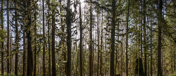 Panorama of the sun shining through the temperate rainforest of the Hoh rainforest
