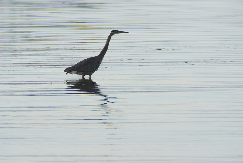 Heron going fishing early in the morning.