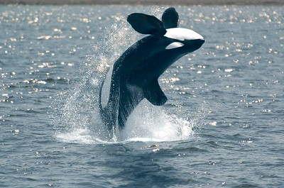 Orca breaching near Vancouver Island