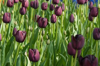 Skagit Tulip Festival-2306