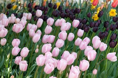 Skagit Tulip Festival-2294