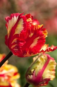 Skagit Tulip Festival-2334
