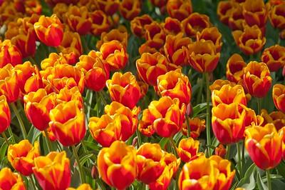 Skagit Tulip Festival-2292